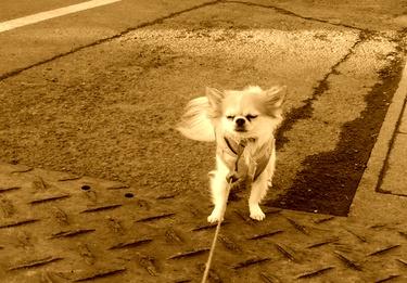 散歩するハヤテ4