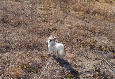 野原を散歩するハヤテ