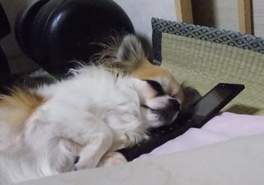 携帯を枕にして寝るハヤテ