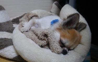 毛布を抱えて眠るハヤテ