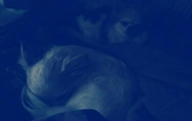 寝入るチワワーズ2