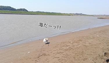 海散歩チワワーズ2