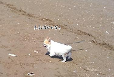 海散歩チワワーズ3