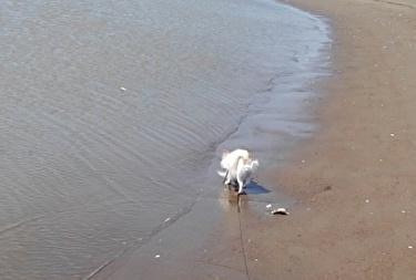 海散歩チワワーズ5