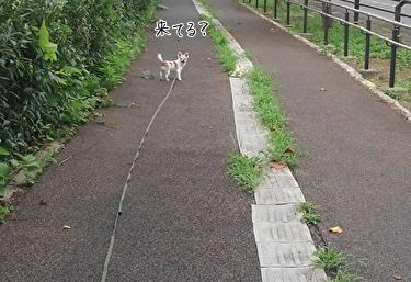 散歩中のハヤテ5