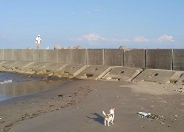 海、散歩中のチワワーズ3