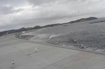 海で散歩するチワワーズ