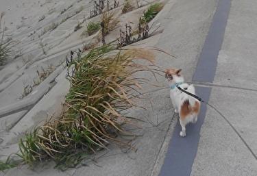 海を散歩中のハヤテ2