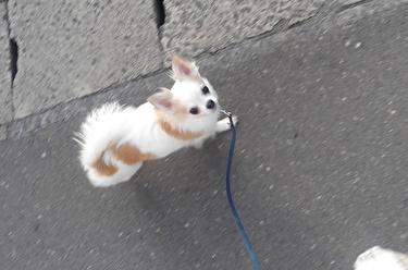 散歩中のさくら