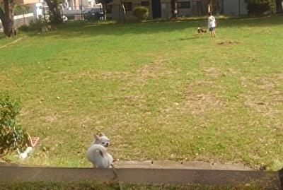 柴犬とさくら4