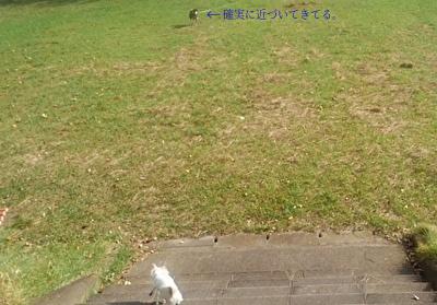 柴犬とさくら6