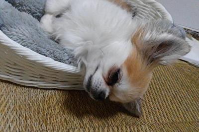 眠そうなハヤテ