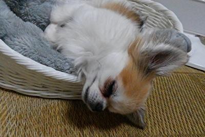 眠そうなハヤテ2