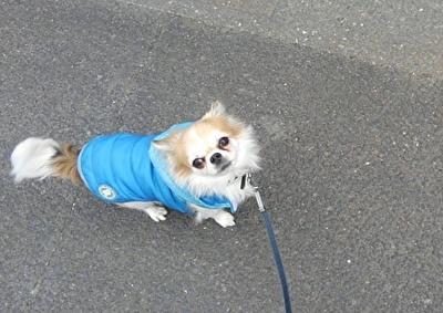 洋服を着て散歩するハヤテ2