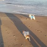 海を散歩するチワワーズ