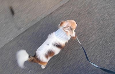 マフラーで散歩するハヤテ