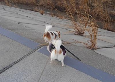 堤防を散歩するチワワーズ3