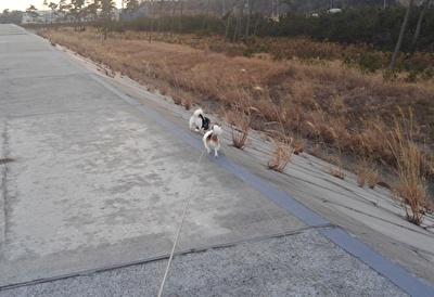 堤防を散歩するチワワーズ4