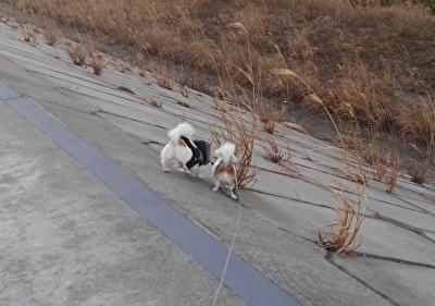 堤防を散歩するチワワーズ5