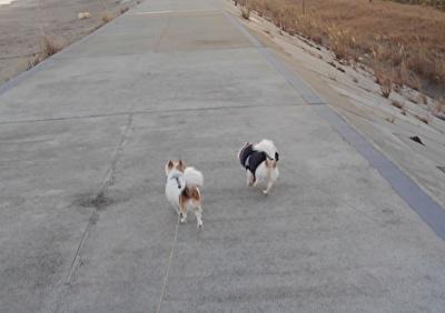 堤防を散歩するチワワーズ6