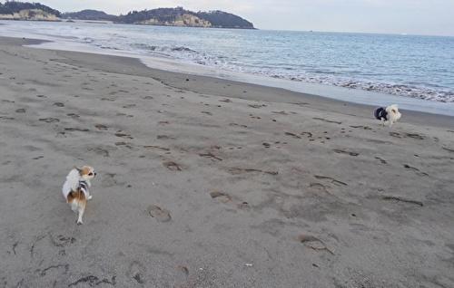 海辺を散歩するチワワーズ