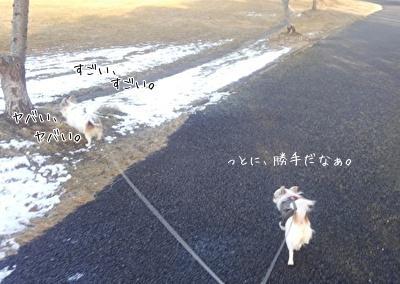 散歩中のチワワーズ4