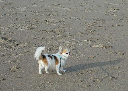 海を散歩するハヤテ
