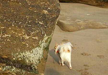 海を散歩するさくら