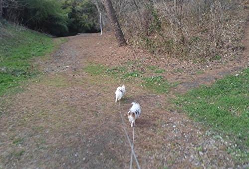 散歩チワワーズ