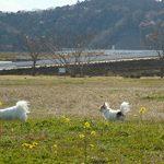 草原で遊ぶチワワーズ