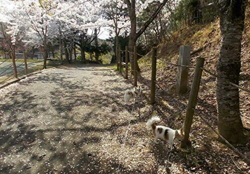 桜の木とチワワーズ
