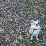 さくらと桜2
