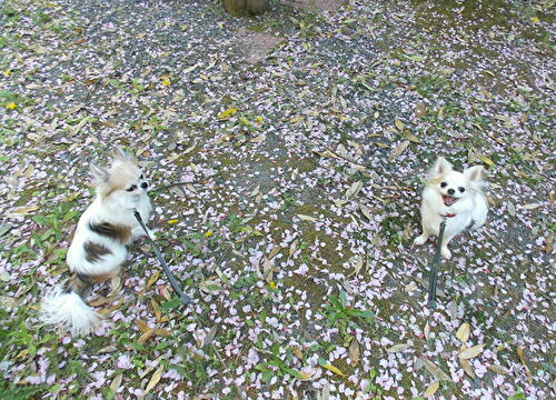 チワワーズと桜