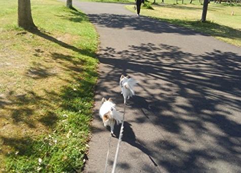 散歩中のチワワーズ3