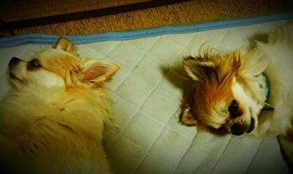 昼寝中のチワワーズ2