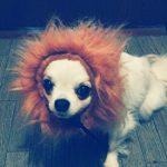 さくらライオン