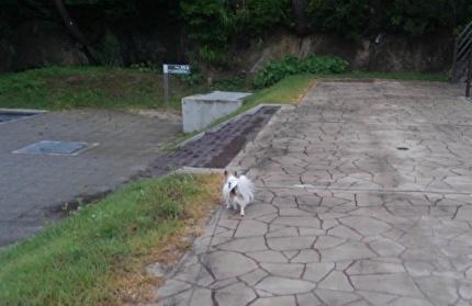 散歩中のハヤテ
