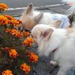 お花を嗅ぐチワワたち