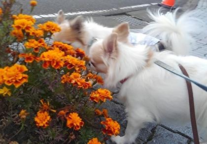 お花を嗅ぐチワワたち4