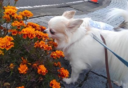 お花を嗅ぐチワワたち3