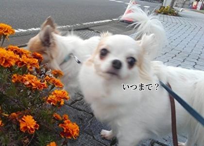 お花を嗅ぐチワワたち6