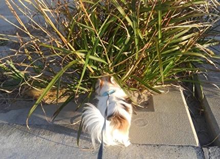 草葉の匂いを嗅ぐハヤテ