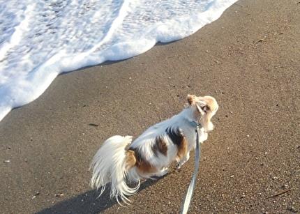 海を散歩するハヤテ4
