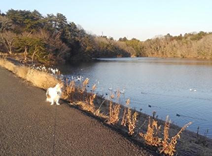 白鳥を見るハヤテ