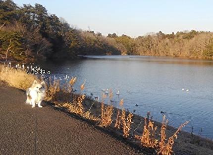 白鳥を見るハヤテ2