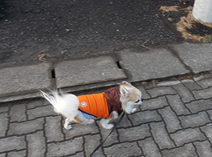 散歩中するハヤテ2