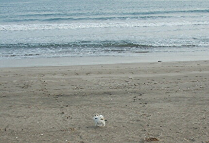 砂浜を散歩するさくら