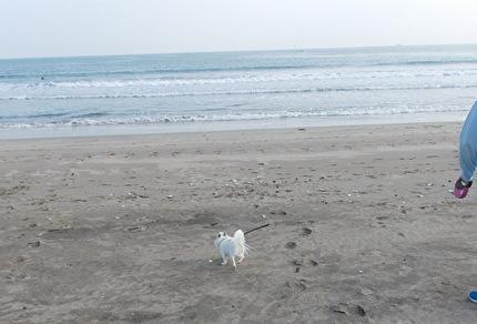砂浜を走るさくら
