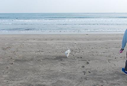 砂浜を走るさくら2