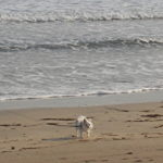 砂浜を散歩するさくら3